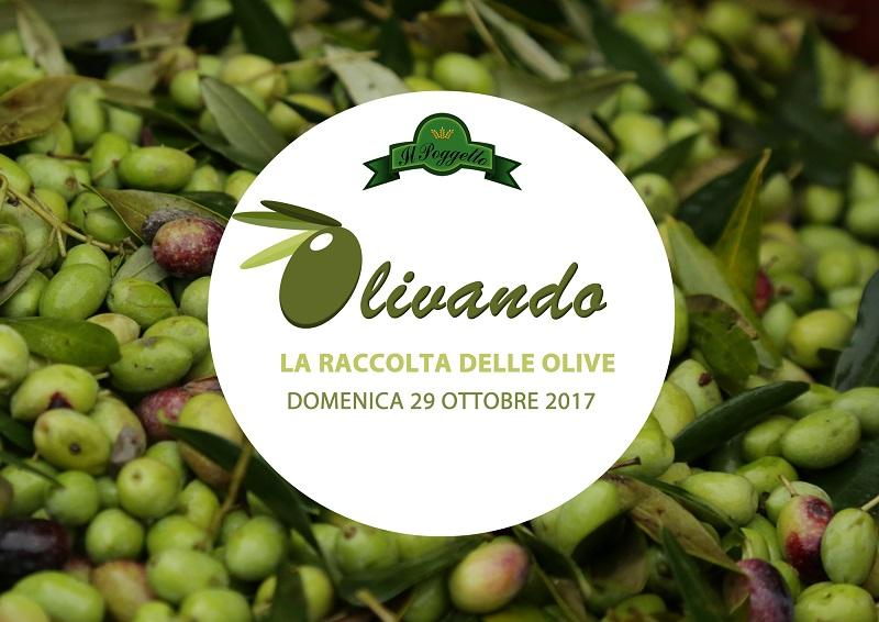 Olivando 2017 … La magia della raccolta delle olive